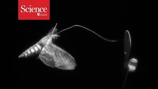 Snippet: Watch moths use scent to learn about their environment