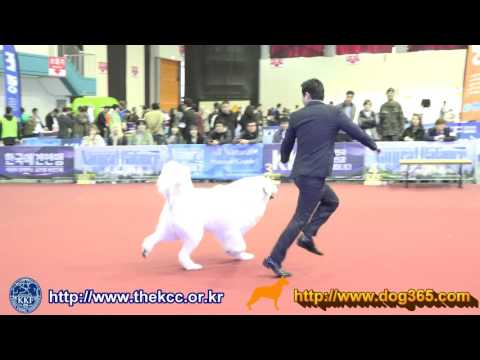 2017 KKF Dog Show-Great Pyrenees