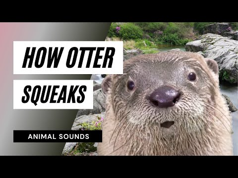 The Animal Sounds: Otter Squeaks - Sound Effect - Animation