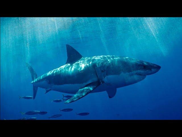 12ft Great White Shark Found Bitten In Half || BREAKING NEWS!