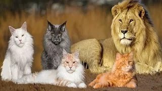 These Are 5 Cat Breeds That Just Look Like Lions