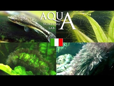 Aquascaping Lab - Alghe in Acquario, come prevenirle, individuarle ed eliminarle