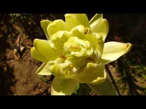 Лилия махровая  зелёная лотосовидная.