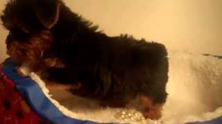 Legend Tiny Male Yorkshire Terrier Puppy For Sale Houston Texas Tinypawsandclaws.com
