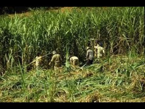 Make Profit From High Yielding Sugarcane varieties and Its Cultivation