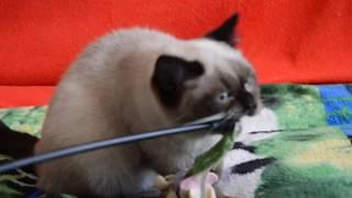Купить шотландского котенка. Котята для Вас: шотландские прямоухие котята сил-поинт окраса.
