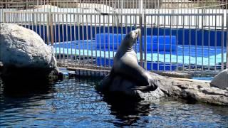 Seal roars - funny animals / Rycząca foka - śmieszne zwierzęta