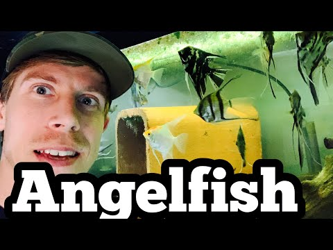 Angelfish Care & Freshwater (Tank Setup)