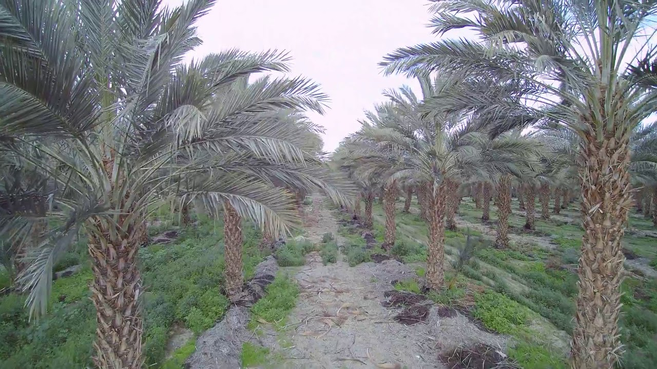 Florida Whole Medjool Date Palm Tree Nursery Tampa Orlando Miami