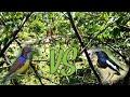 Mikat Burung Di Pekarangan Rumah Dapat Kacer  Mp3 - Mp4 Download