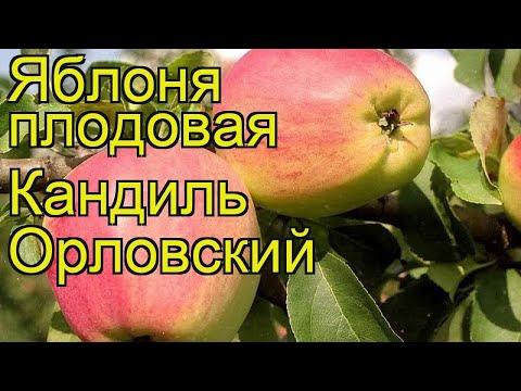 Яблоня плодовая Кандиль Орловский. Краткий обзор, описание malus domestica Kandil Orlovskii