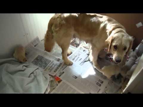 Golden Retriever Puppies Mimic Sound of Siren!
