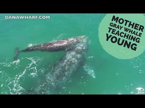 Mother Gray Whale Teaching Her Young to Feed!