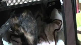 子犬の鈴(りん)ちゃん4カ月です。 先住犬の風ちゃんは「忍者犬 風」とし...