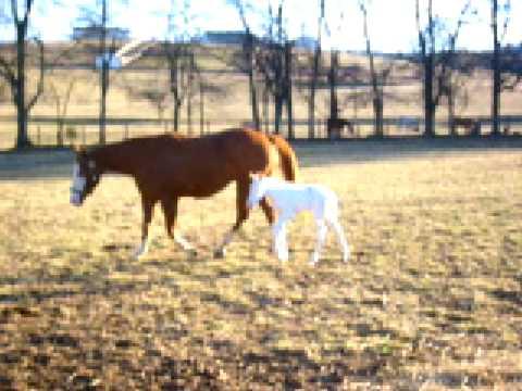 Chestnut Overo Horse for Sale - YouTube - photo#27