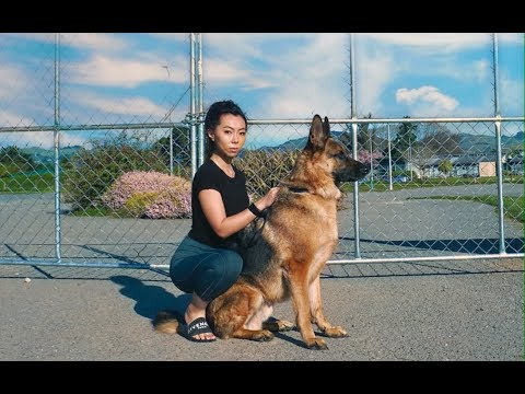 Day in the Life of a German Shepherd