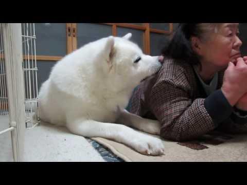 秋田犬と大相撲中継で盛り上がるお婆さん【akita dog】