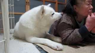 【秋田犬げんき】大相撲中継で盛り上がるお婆さん【akita dog】