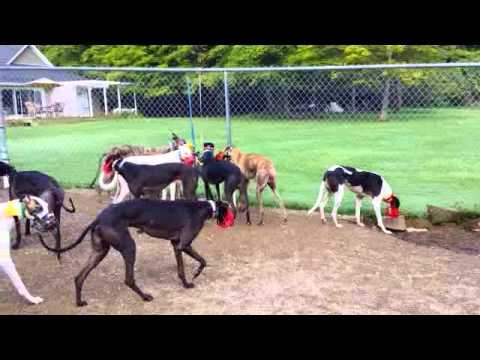 Greyhound Adoption of Ohio - Greyhound Haul Arrival 8 23 2014