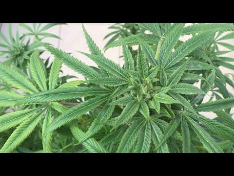 Cannabis Harvest Как