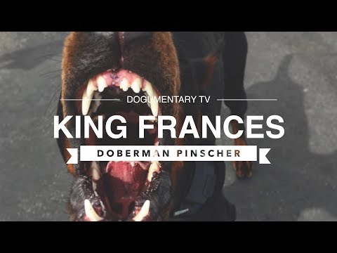 THE REAL KING FRANCES: DOBERMAN PINSCHER