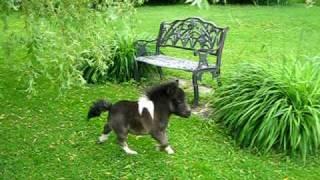 Oréo cheval miniature nain, Dwarf horse. Drôle de petit chien!! au ranch BBSM .