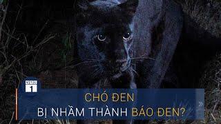 Vụ báo đen xuất hiện ở Đồng Nai: Chó đen bị nhầm thành báo đen? | VTC1