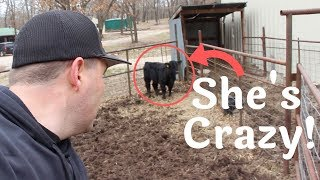Moving the Wild Heifer Without Getting KILLED!