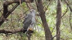 Gray Hawk - Paton Center for Hummingbirds (Patagonia, AZ)