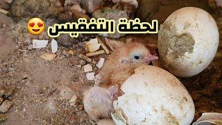 كركت الدجاجه على 9 بيضات وصارت مشكله 😱 تعالوا شوفوا شكد فقسن 🤔
