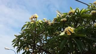видео Карисса уход, полив, цветение