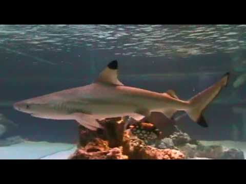 BLACK TIP REEF SHARK HOME TANK - YouTube