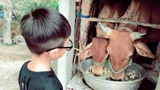 Bé cho bò ăn | Ly Hai Minh Ha Family
