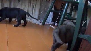 アイリッシュウルフハウンドの子犬です。 少しずつじゃれ合って遊ぶよう...