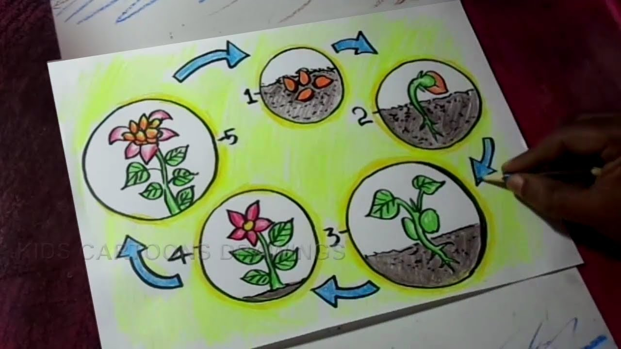 How to Draw Plant Life Cycle poster Drawing for Kids