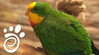 Барабантовый Попугай. Все О Домашних Животных