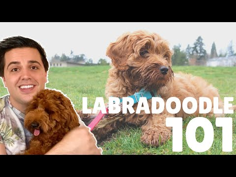 Labradoodle 101  10 Fast Breed Facts