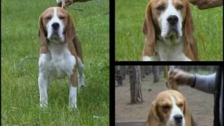 Beagle - Pet Dog Documentary English
