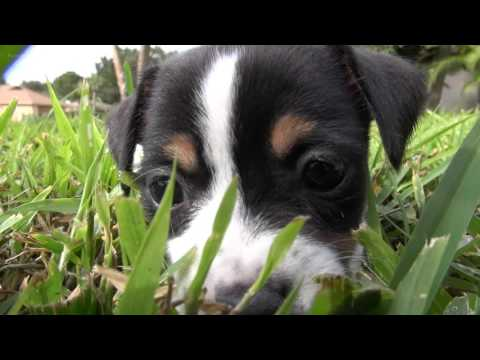 Jack Russell Terrier Puppies Play Together | Brother and Sister Cute Dogs