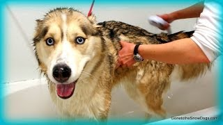 Siberian Husky Bath Crying Talking Singing
