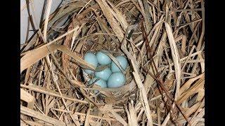 Bird Nesting in Vent