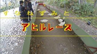 2016年10月撮影 北海道のノースサファリサッポロで行われている「アヒル...