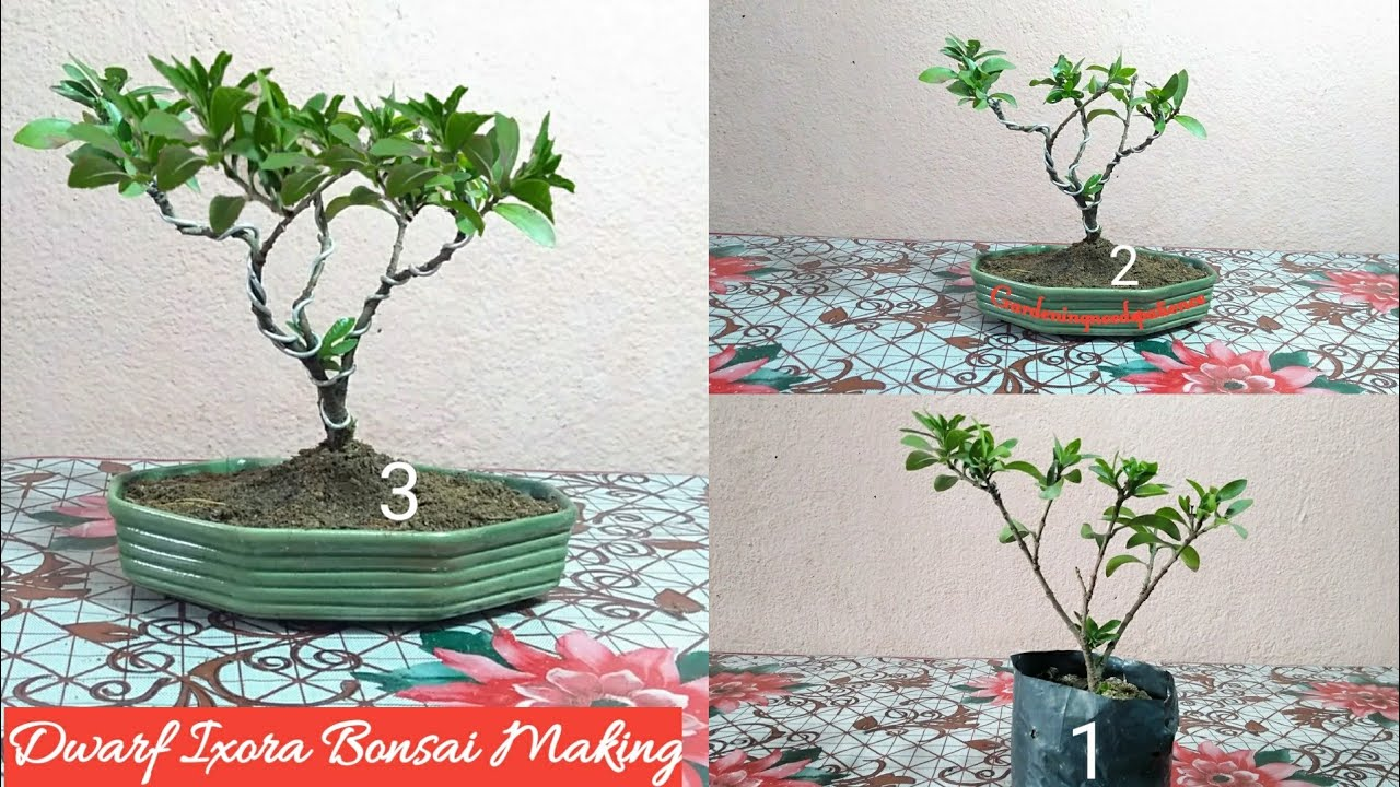 How To Make Ixora Plant Bonsai Bonsai Making Youtube