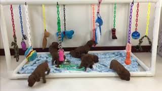 Red Poodles Puppies for Sale
