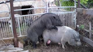 Самый простой способ заставить свиноматку гулять,или как узнать точный день начала половой охоты.