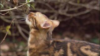 Lions and Domestic Cats - Painful Sex | Domestic Cats - Artificial Selection