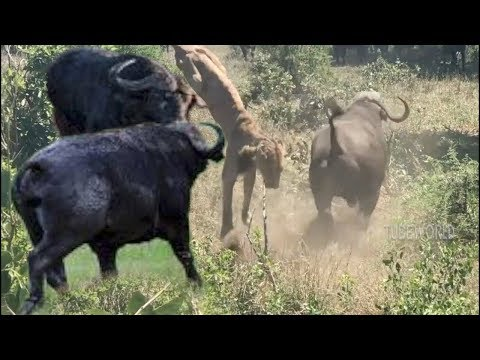 Wildlife Buffalo Fight Back Lion