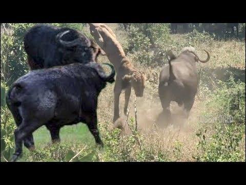 Herd Buffalo Fight Lion To Save Another Buffalo - Ruslar.Biz