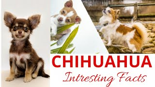 Chihuahua / Smallest dog breed / Teacup dog breed of India / Cute dogs