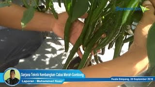 Sarjana Teknik Kembangkan Cabai Merah Gombong